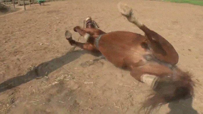 Не желая катать на себе людей, конь прикидывается мертвым