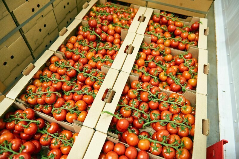 497 кг помидоров