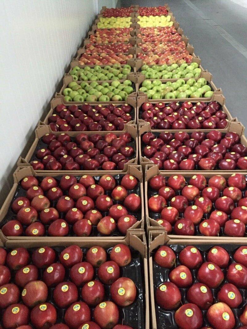 457 кг яблок