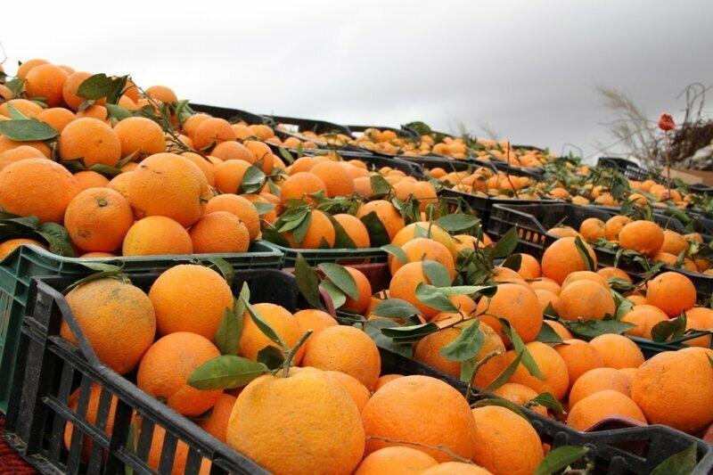 524 кг апельсинов