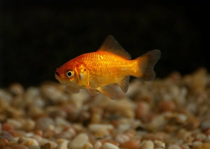 У золотой рыбки неплохая память