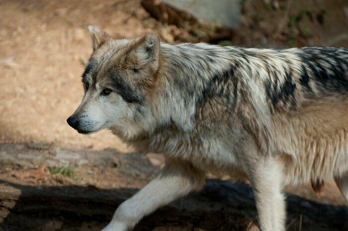 В волчьей стае нет альфа-самца
