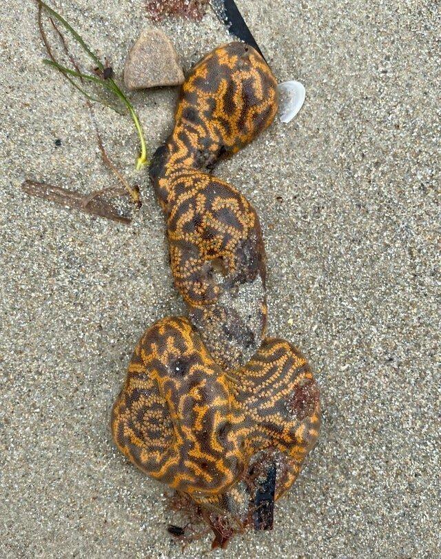 9. Асцидии (Ascidiacea) - морские беспозвоночные