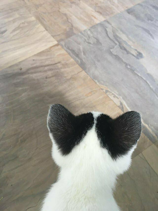 20. Пятна на кошачьих ушах напоминают сердечки