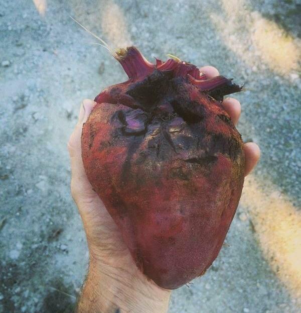 1. Свёкла в форме человеческого сердца