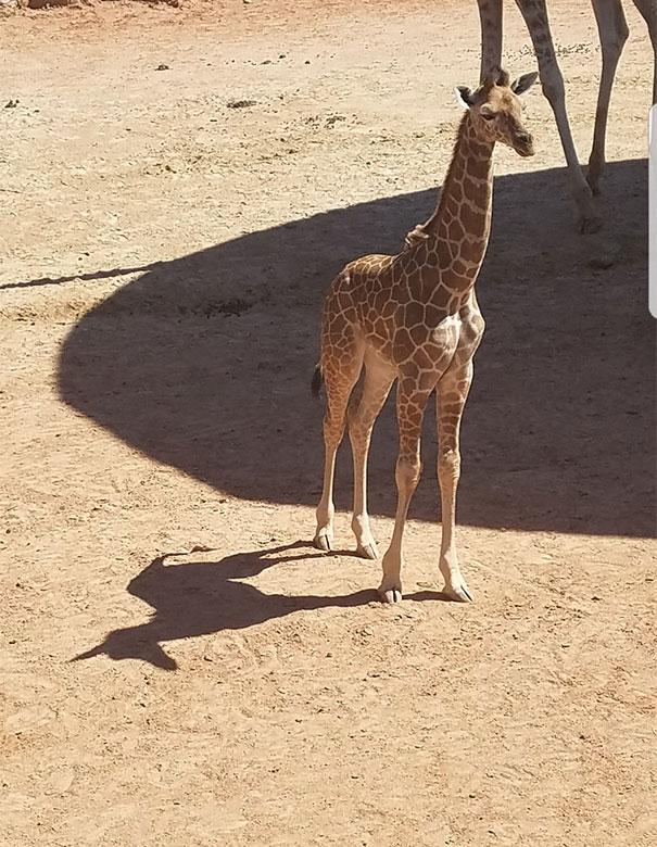 Жираф, мы тебя раскололи!