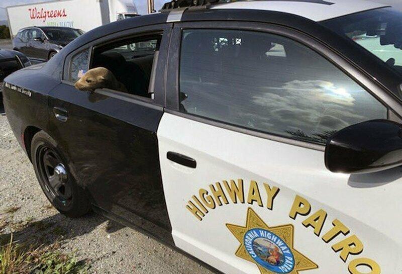 8. Тюлень сидит в полицейской машине после того, как его спасли, когда он забрёл на шоссе