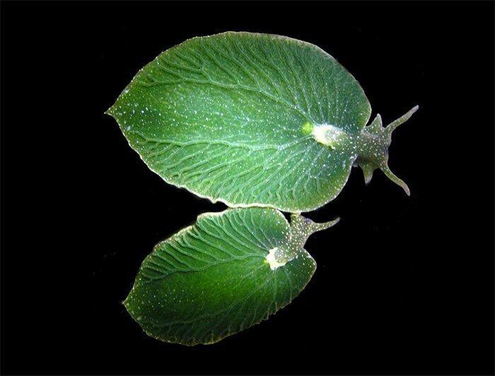 Морской слизень, похожий на лист дерева. Способен оставаться без еды в течение 9 месяцев, получая питание за счет фотосинтеза