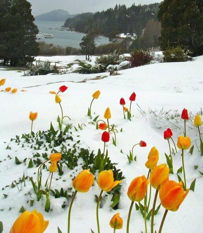 Цветущие под снегом тюльпаны