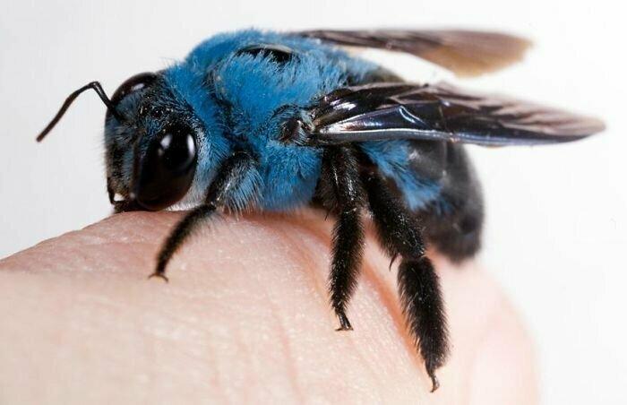 Голубая пчела-плотник (Xylocopa caerulea)