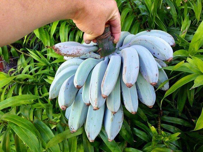 """Холодостойкий сорт бананов """"Голубая Ява"""". На вкус как ванильное мороженое"""