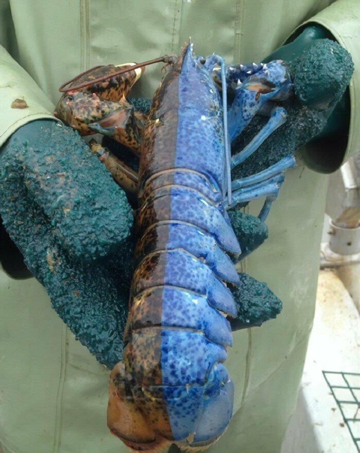 Лобстер-гинандроморф: голубая сторона - женская, коричневая - мужская