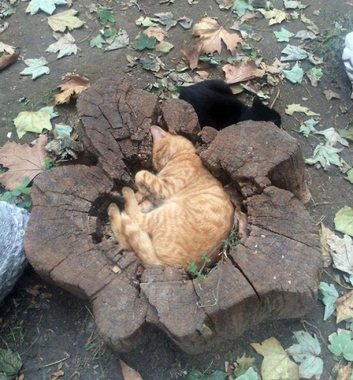 Кот размером с пень