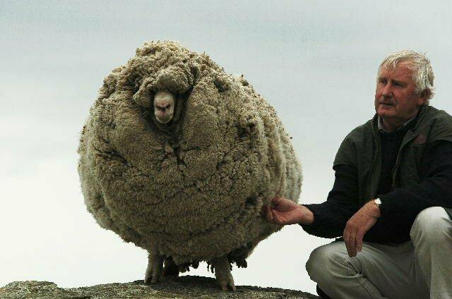 Так выглядит овца, которую не стригли 6 лет (слева)