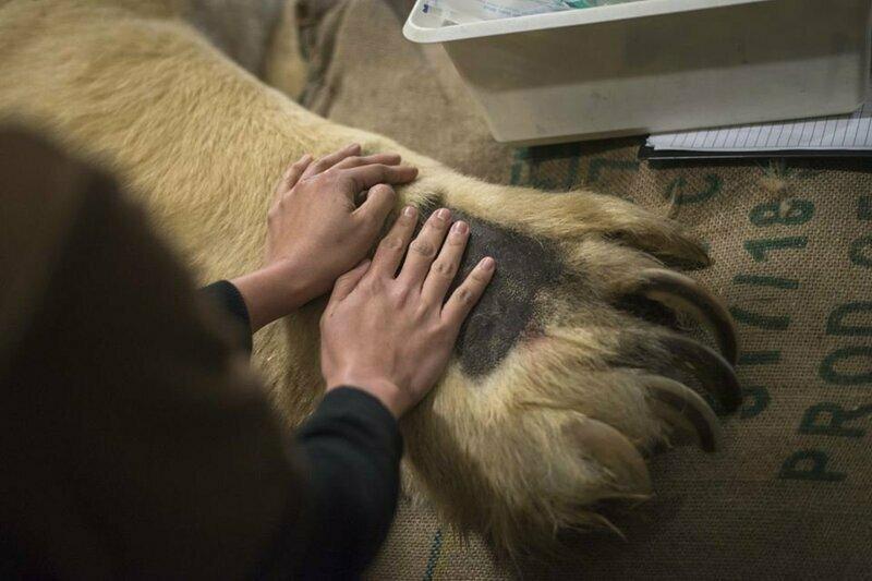 Лапа белого медведя и мужские руки