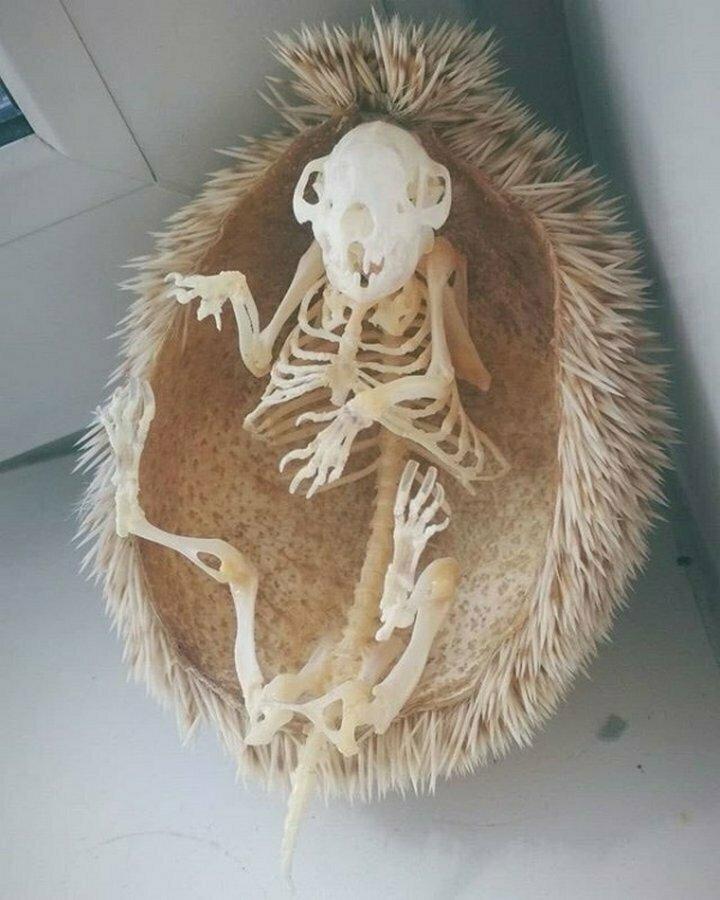 Скелет ежа вместе с иголками
