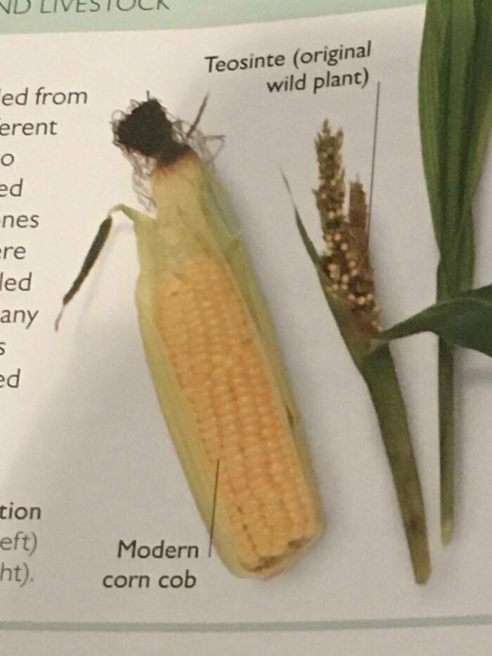 Дикая и окультуренная кукуруза