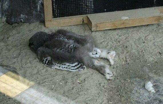 Мы привыкли видеть в зоопарках, что совы спят сидя, как и многие птицы, однако юные совята иногда спят лицом вниз, так как их голова еще слишком тяжелая