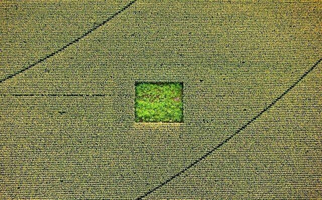 Сад марихуаны, спрятанный в кукурузном поле