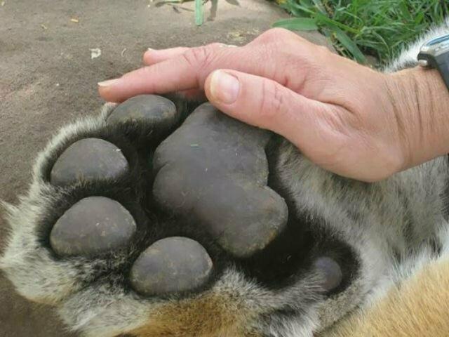Лапа тигра в сравнении с человеческой рукой