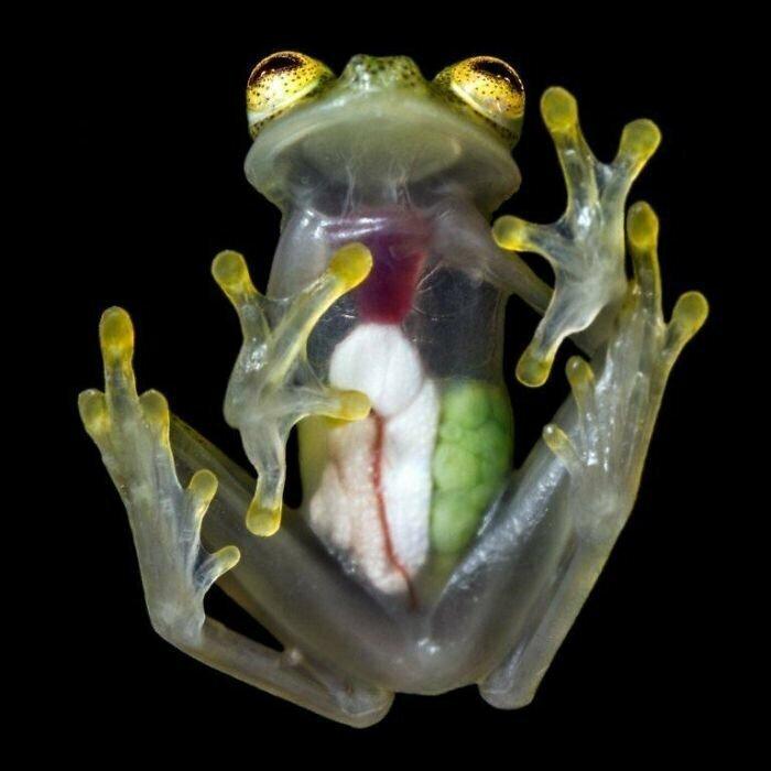 Органы стеклянной лягушки можно со всеми подробностями рассмотреть сквозь прозрачную кожу