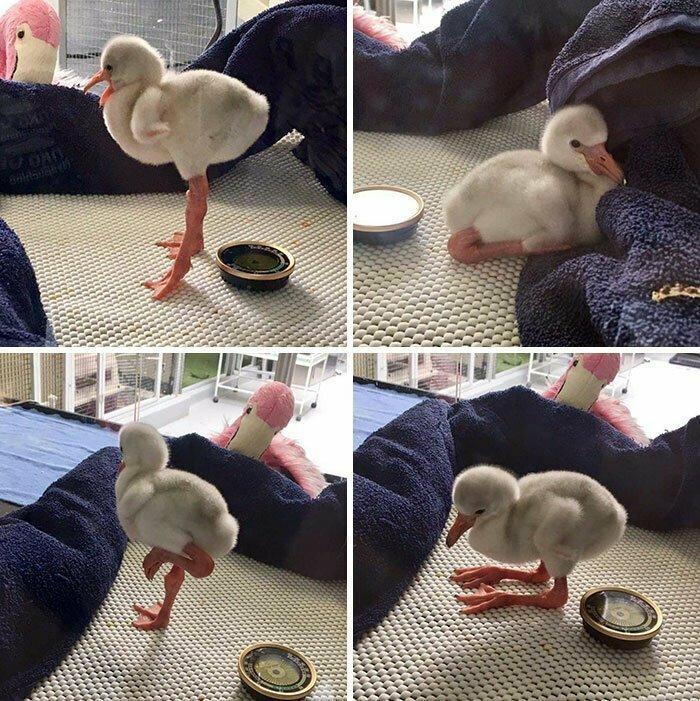 Так вот ты какой, птенец фламинго!