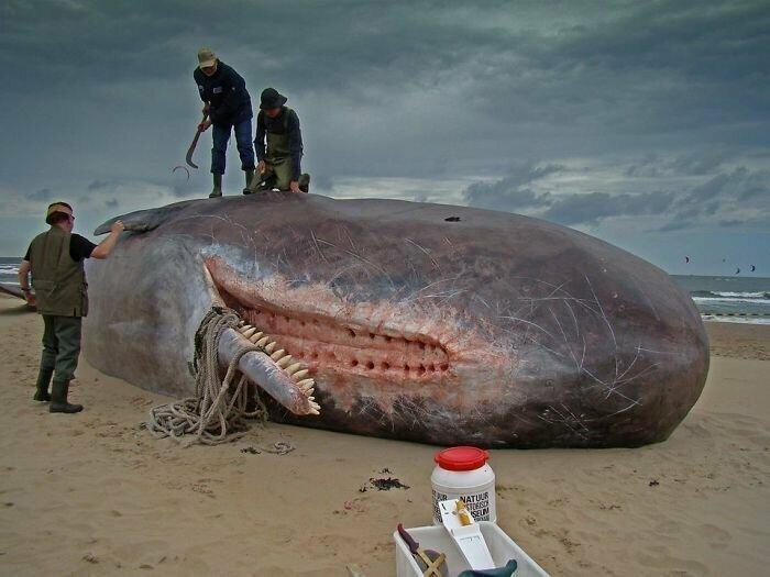 Спермацетовый кит - самый крупный хищник на Земле. Но, оказывается, в его верхней челюсти совсем нет зубов - только прорези, куда при жевании входят зубы нижней челюсти