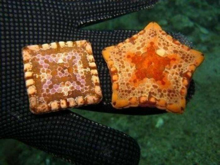 Иногда пятилучевые морские звезды из-за врожденных дефектов вырастают квадратными