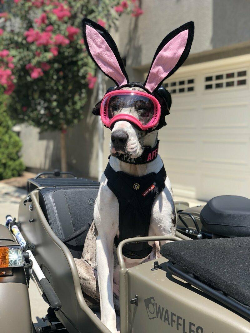 Эта собака всегда сопровождает хозяина в путешествиях, и у неё есть много специальной одежды