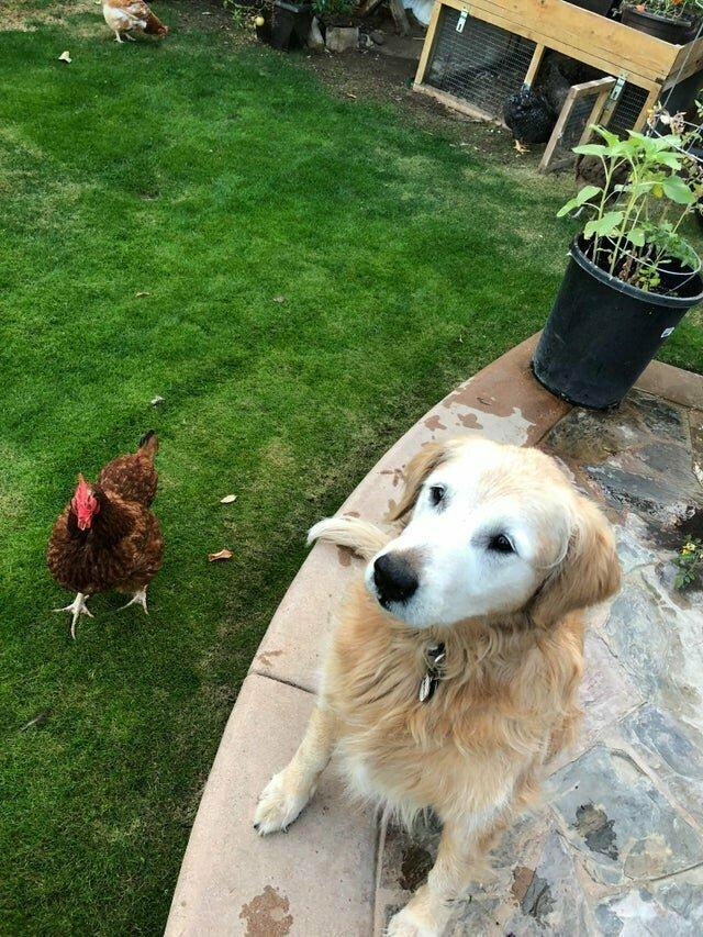 Он охраняет кур, но считает это интересной игрой