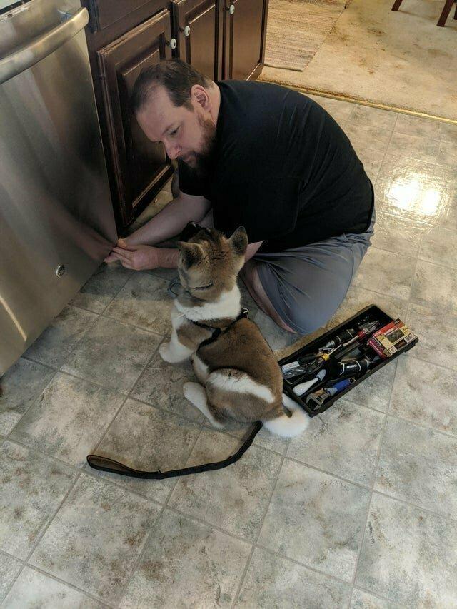 Это собака Акита, её дрессируют для больных эпилепсией, но видимо её заинтересовала сантехника