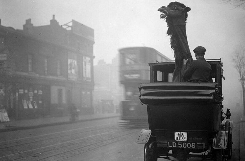 Перевозка верблюда-марионетки в такси. Лондон,декабрь 1927 года
