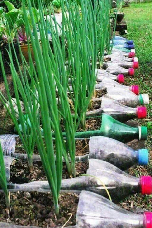 Зачем высаживать лук в бутылки, если их можно высадить в грунт? Естественно, ради красоты