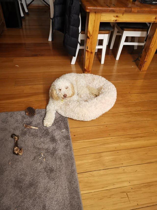 Собака-лежанка