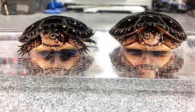 Две черепахи в отражении выглядят как два бородача под водой