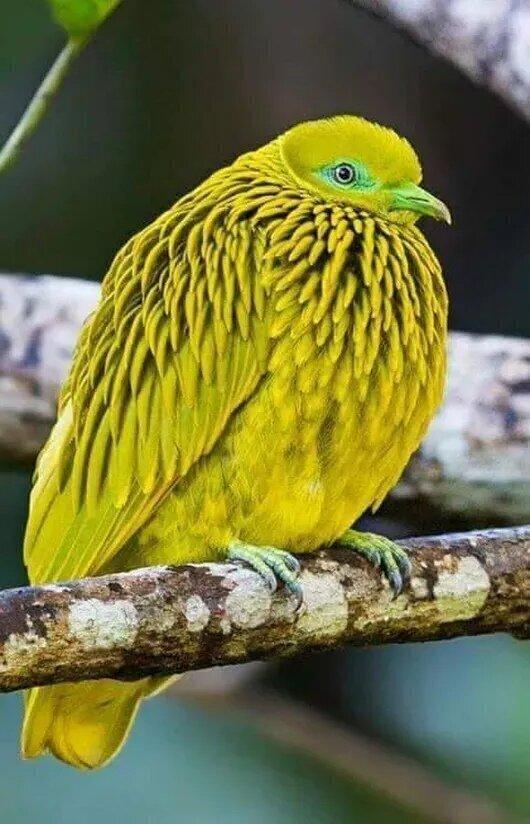 На фото голубь - золотой пестрый голубь