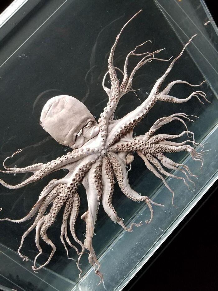 Редкая мутация, которая вызывает ветвление щупалец осьминога