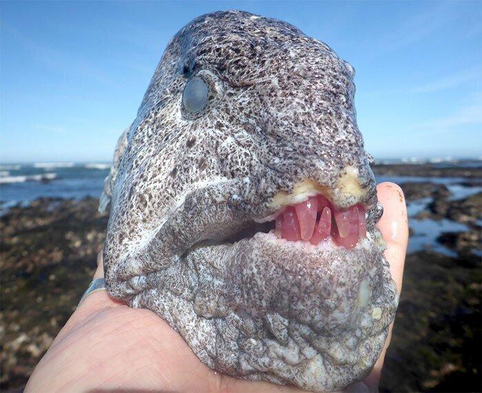 Голова угревидной зубатки, найденная в приливном бассейне