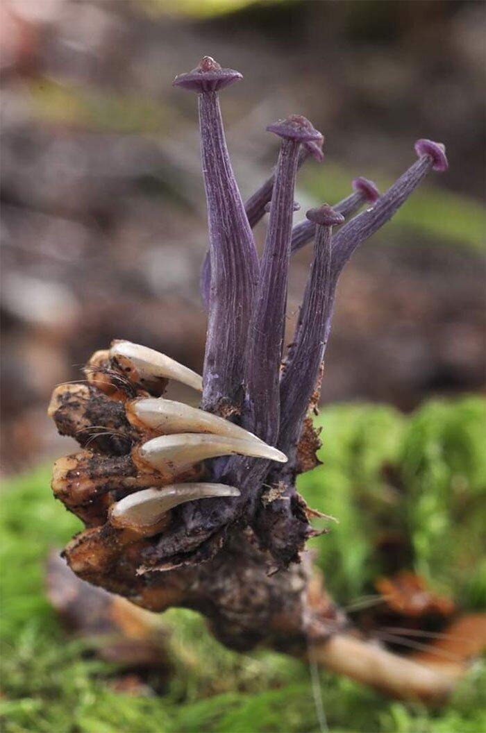 Грибы Lacarria Masoniae, растущие из скелета опоссума