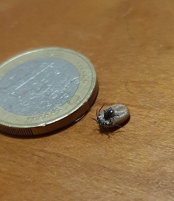 Маленький клещ, который паразитирует на большом клеще