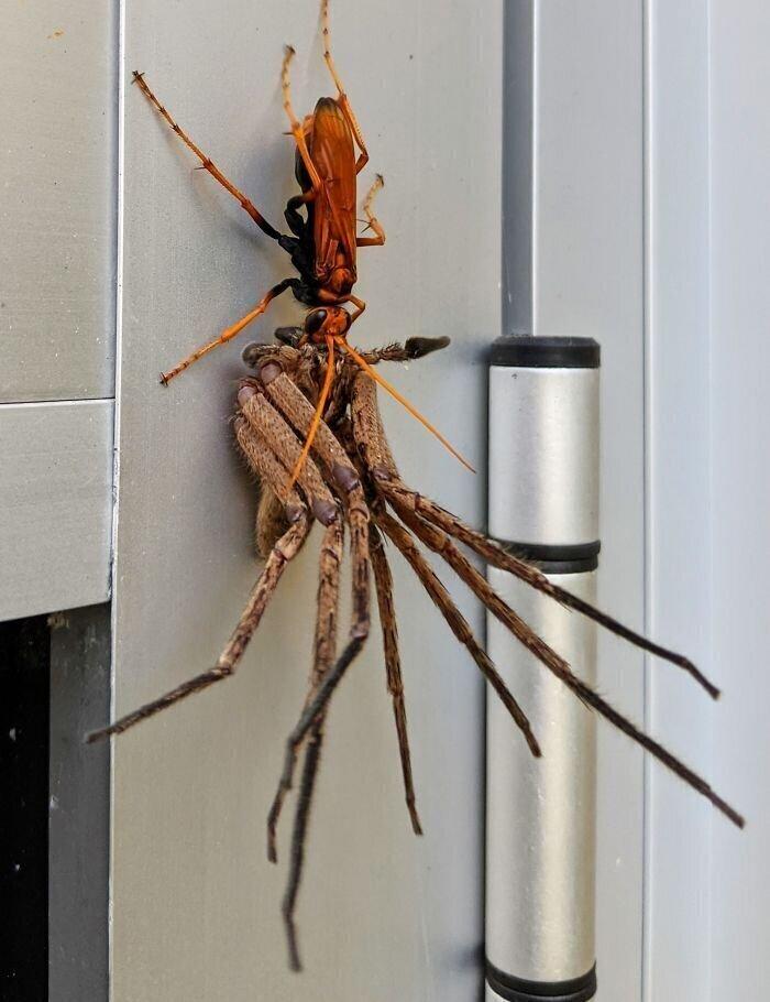 Оса-ястреб завалила паука-охотника