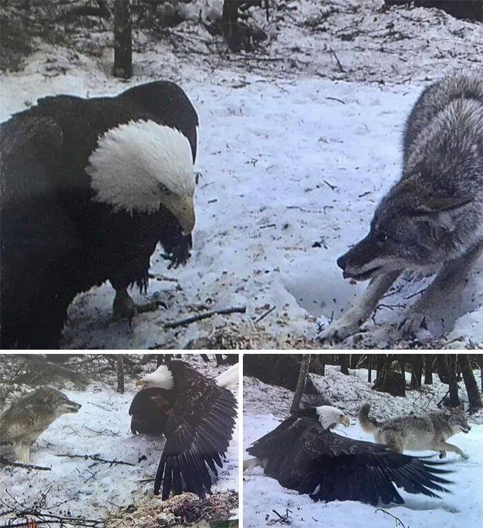 Белоголовый Орлан и Серый волк (сказка, снятая на фотоловушку)