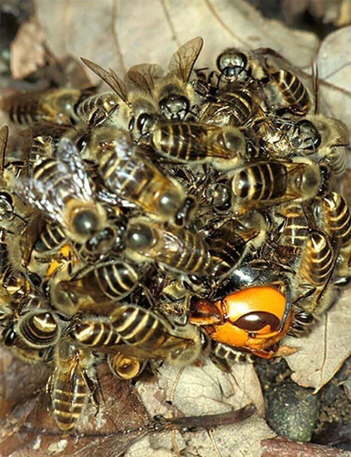 """Пчелы убивают шершня, повышая температуру своих тел, чтобы """"сварить"""" его заживо"""