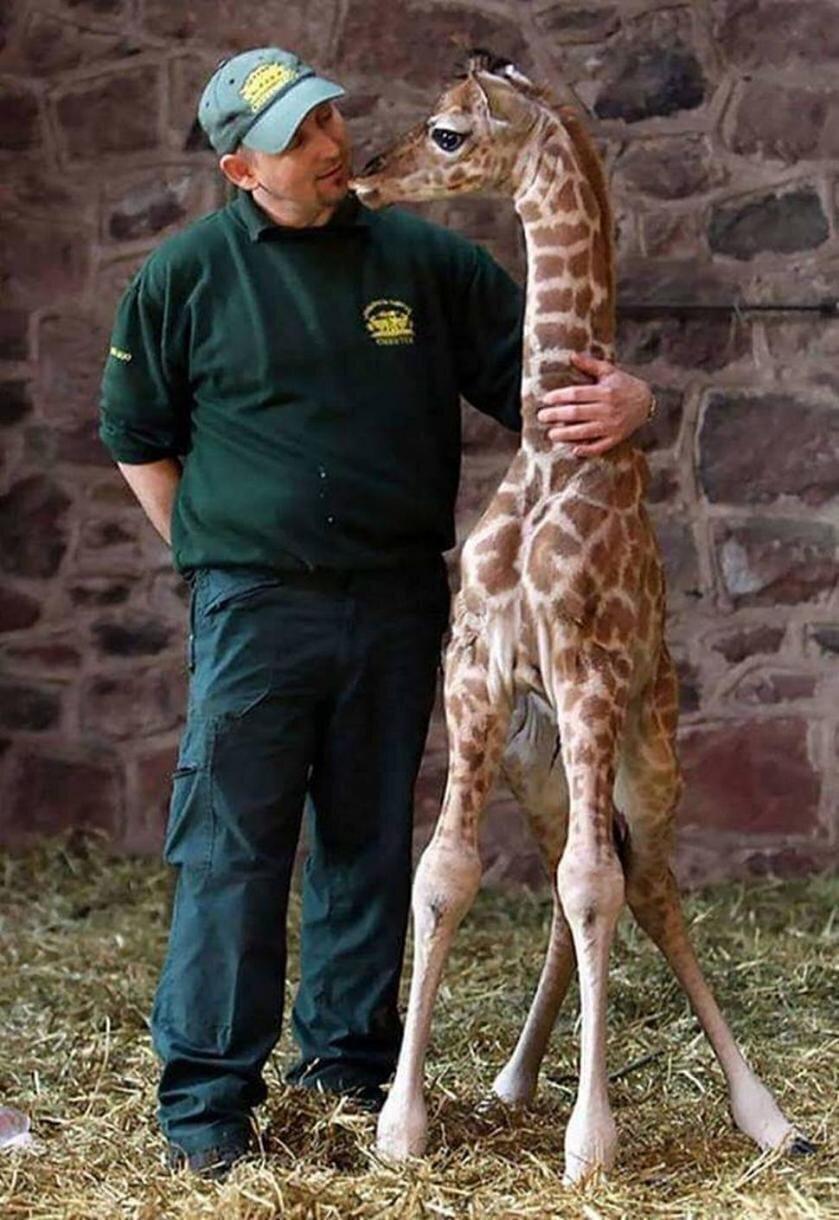 Новорожденный жираф рядом со взрослым мужчиной