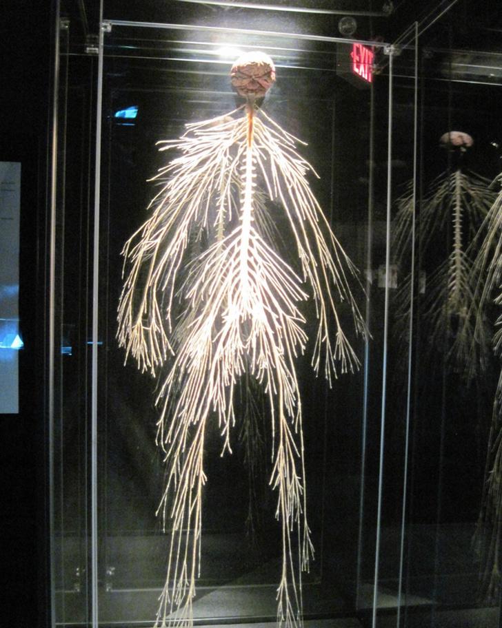 А так выглядит нервная система человека