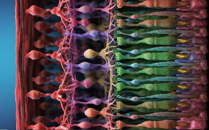 Фоторецепторы в глазу при сильном увеличении