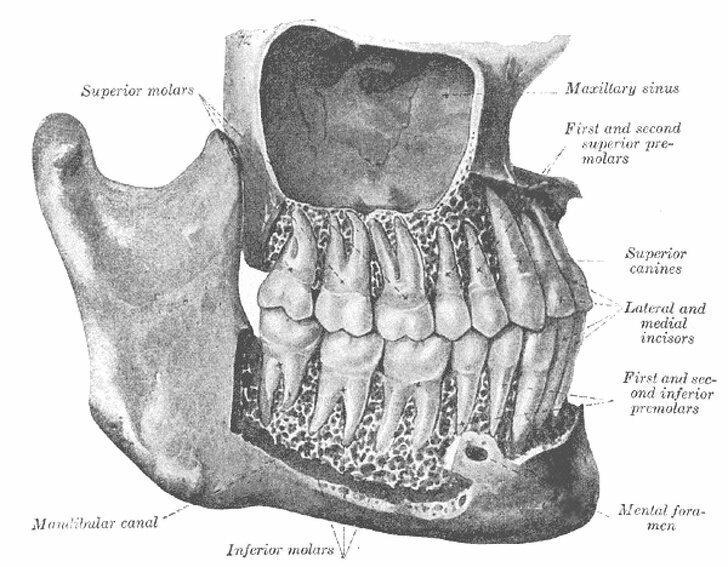 Фото, которое доказывает, насколько зубы больше, чем их визуально видимая часть
