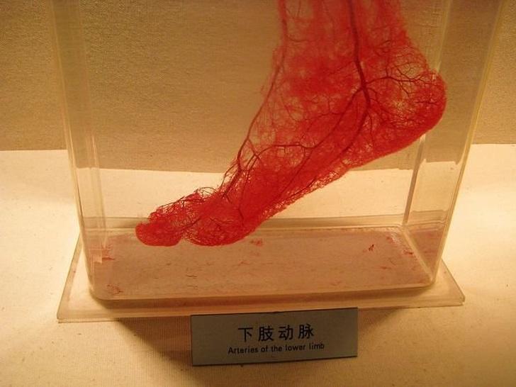 Кровеносные сосуды в ноге