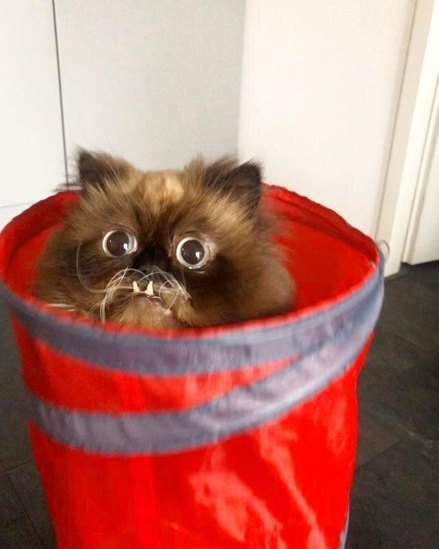 Благодаря прикусу котик выглядит очень сердитым