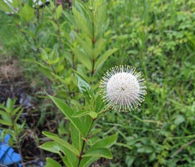Растение похожее на коронавирус Ковид-19